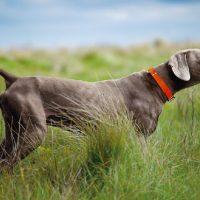 Молодой веймаранер охотится в поле