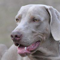 Красивый пес серого цвета