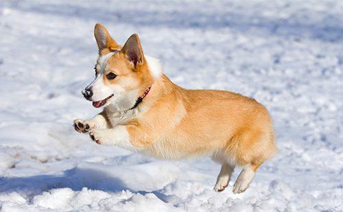 Вельш корги пемброк прыгает по снегу