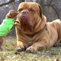 Бульмастиф играет с маленькой собачкой