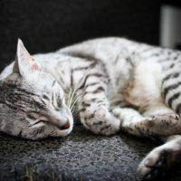 Спящая египетская мау