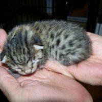 Маленький котенок породы египетская мау