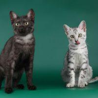 Два кота породы египетская мау