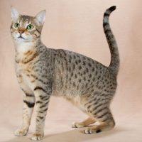Красивая кошка породы египетская мау