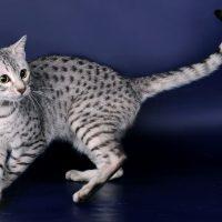 Кот породы египетская мау на синем фоне