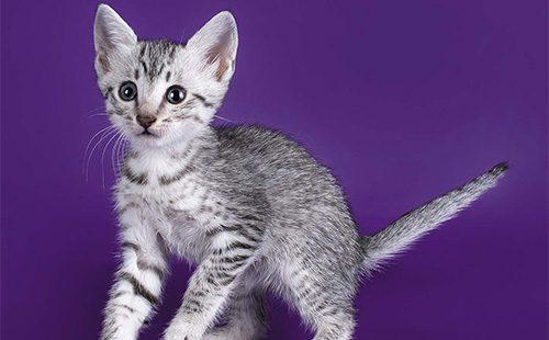 Котенок египетской мяй