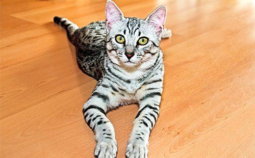 Красивый полосатый кот лежит на полу