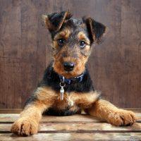 Красивый щенок эрдельтерьера