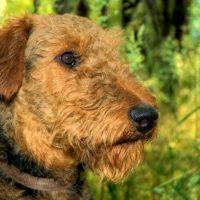 Портрет пса породы эрдельтерьер