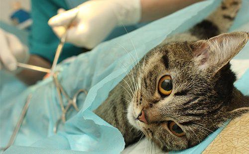 Операция по стерилизации кошки