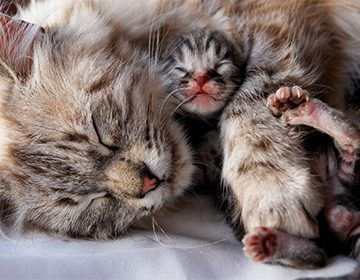 признаки ближайших родов у кошки