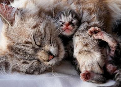 Как кошки рожают в первый раз: беременность и первые роды