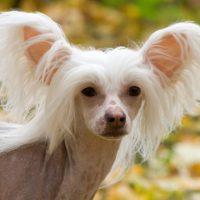Портрет красивой китайской хохлатой собаки
