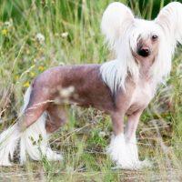 Китайская хохлатая собака стоит на газоне