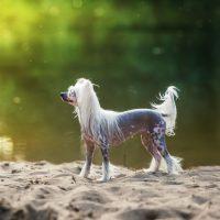 Китайская хохлатая собака стоит на фоне озера