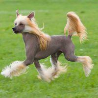 Китайская хохлатая собака бежит по газону