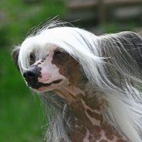 Китайская хохлатая собака смотрит вдаль