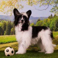 Китайская хохлатая собака стоит возле мяча