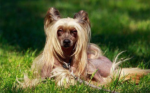 Китайская хохлатая собака лежит на лужайке