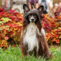 Китайская хохлатая собака стоит возле куста