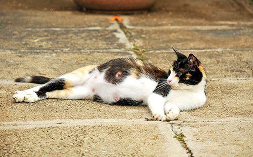 Беременная кошка лежит на боку