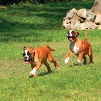 Два щенка немецкого боксера