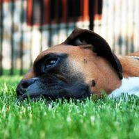 Немецкий боксер лежит на траве