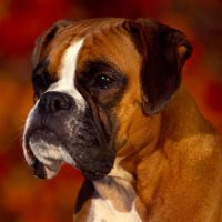 Собака породы немецкий боксер крупным планом