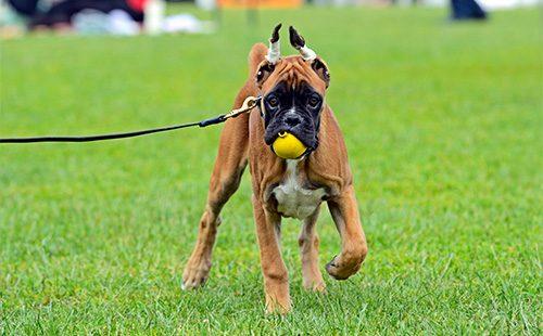Немецкий боксер играет с мячом
