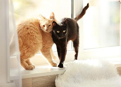 Течка у кошек (сколько длится и как помочь кошке)
