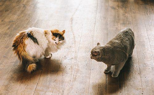 Два кота собираются драться