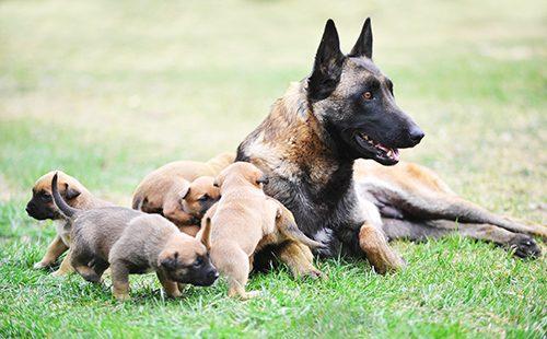 Бельгийская овчарка со щенятами
