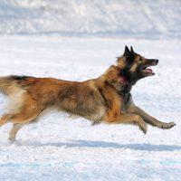 Тервюрен бежит по снегу