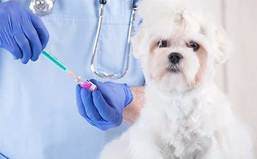 Белому милому щенку проводят вакцинацию