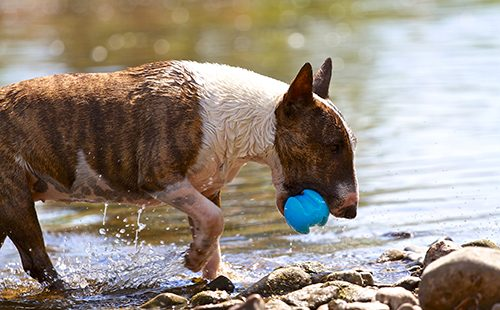 Мини-бультерьер выходит из воды с голубым мячом
