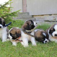 Пятеро щенят на траве