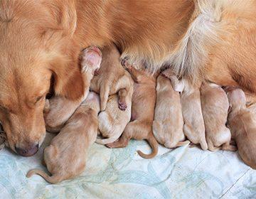 55 день беременности у собаки