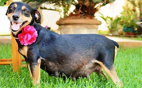 Беременная маленькая собачка