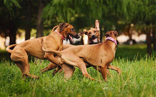 Собаки играют на газоне