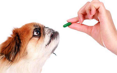 Пекинес собирается сьесть зеленую таблетку