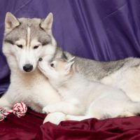 Аляскинский маламут со щенком