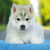Аляскинский маламут маленький щенок