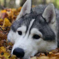 Аляскинский маламут лежит в опавших листьях