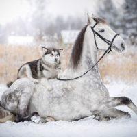 Аляскинский маламут на коне