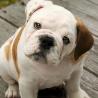 Красивый щенок английского бульдога
