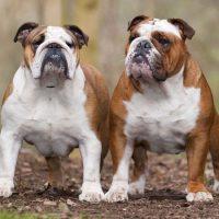 Две собаки анлийского бульдога