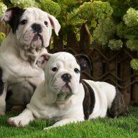 Две красивые собаки породы английский бульдог