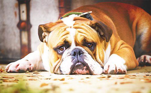 Грусный пес породы английский бульдог