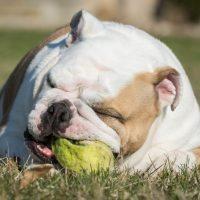 Английский бульдог играет с мячом