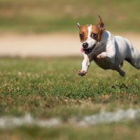 Джек рассел бежит по газону